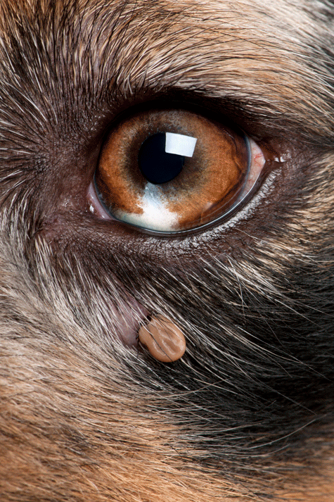 Tick attached below the eye of a dog.